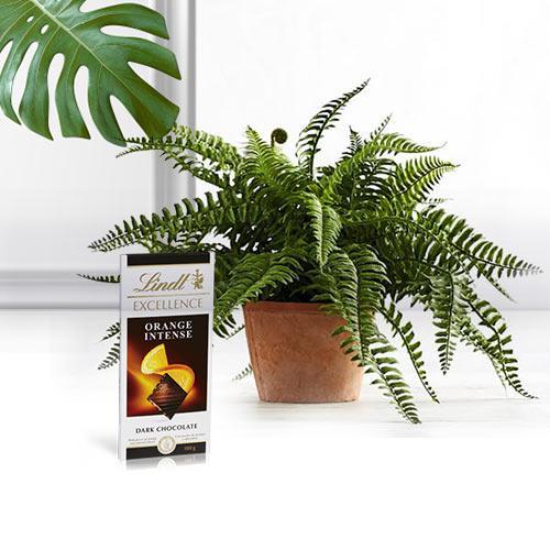 Botanical Air Purifier Bostern Fern Plant with Chocolate Bar
