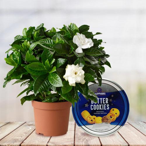 Delightful Gift of Jasmine Plant with Cookies