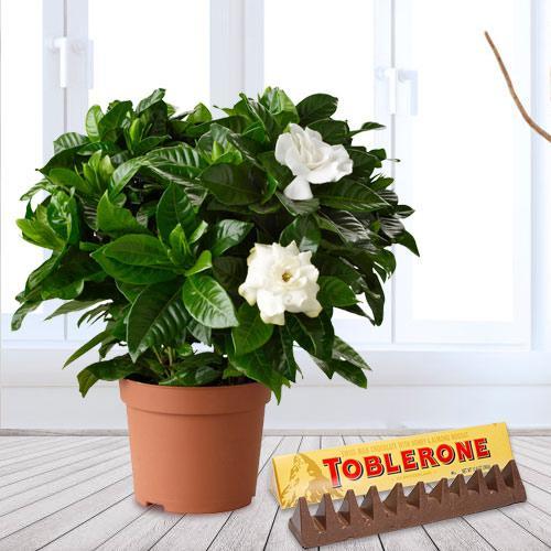 Aesthetic Combo of Jasmine Plant in Plastic Pot with Toblerone Swiss Make Chocolate