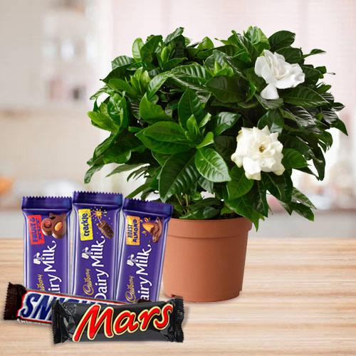 Blossom-Filled Jasmine Plant with Chocolate Assortment