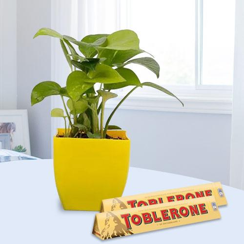 Good Luck Money Plant with Pot N Chocolates