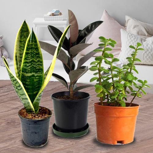 Botanical Gift Set of Three Air Purifying Planter