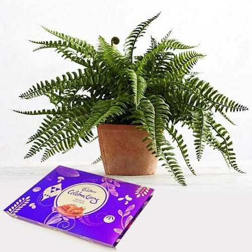 Festive Combo of Air Purifying Bostern Fern N Chocolate